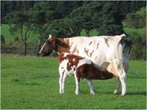 Cow with calf_0