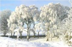 Trees with snow_0